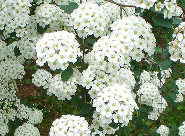 Arbusti ornamentali a fioritura arbusti ornamentali a for Piante secche ornamentali