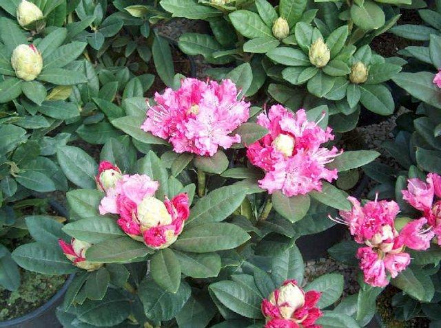 Azalee e rododendri azalee e rododendri - Azalee da esterno ...