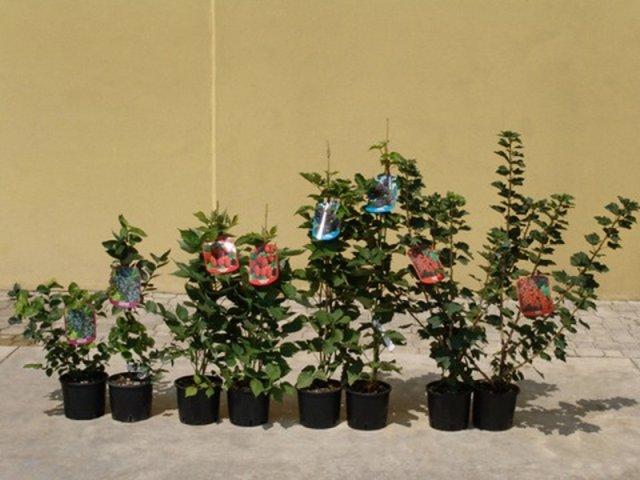 Piante di frutta piante frutta piantare piante di fragola for Piante da frutta nane prezzi